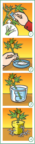 how to clone a hemp plant