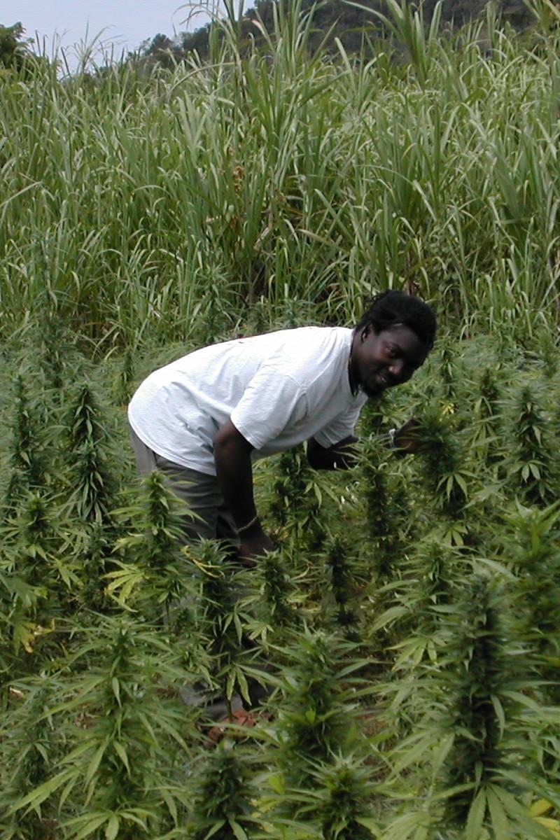 cannabis in jamaica