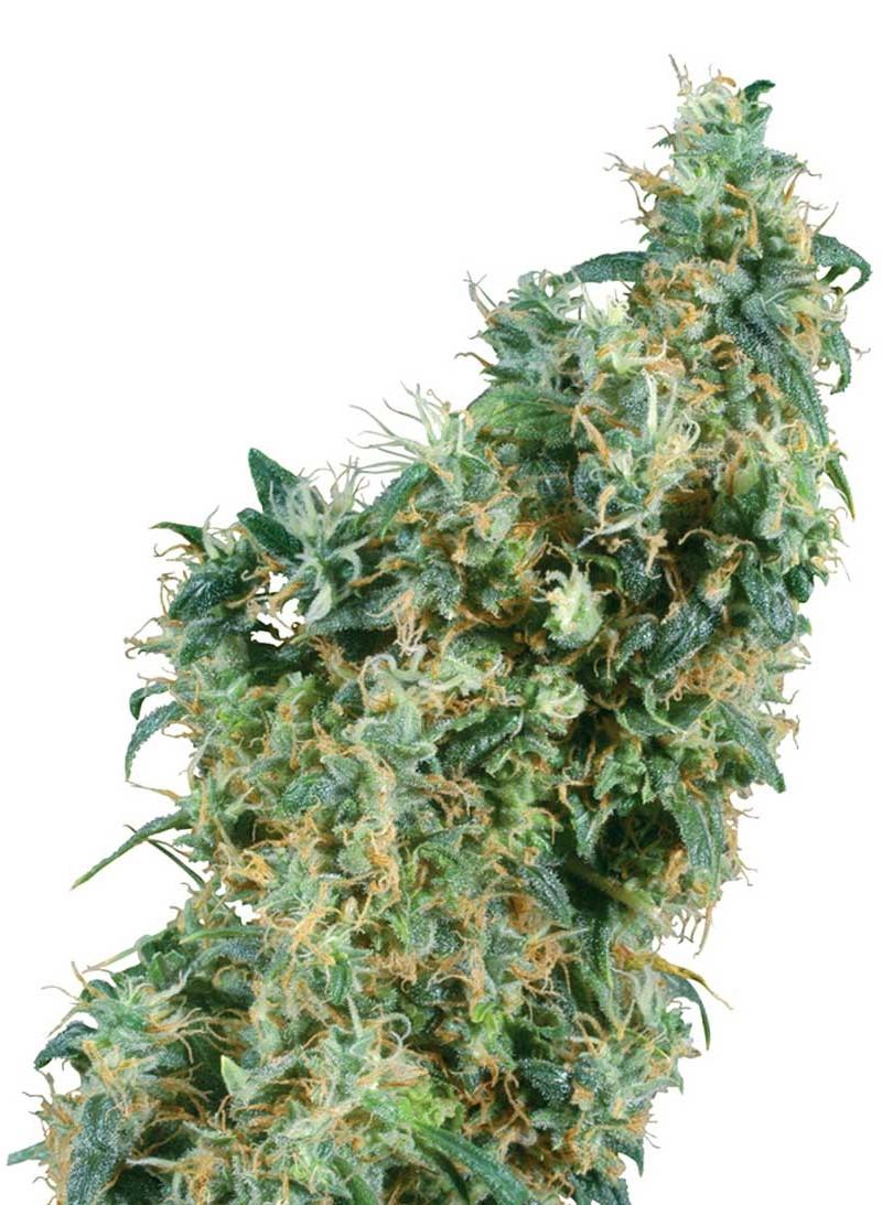 Hemp Seed Shop Learn To Love Hemp And How To Grow Smoke And Enjoy
