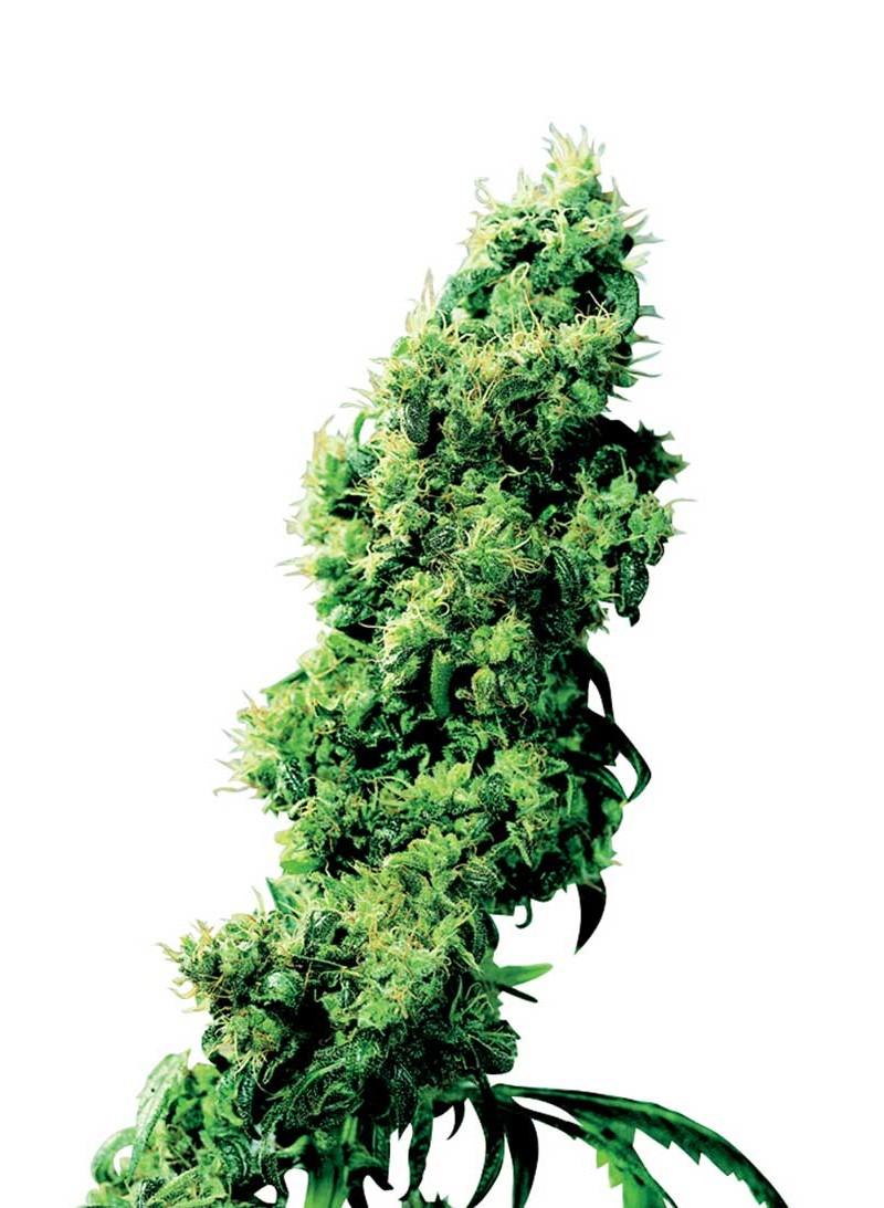 Four-Way hemp seeds